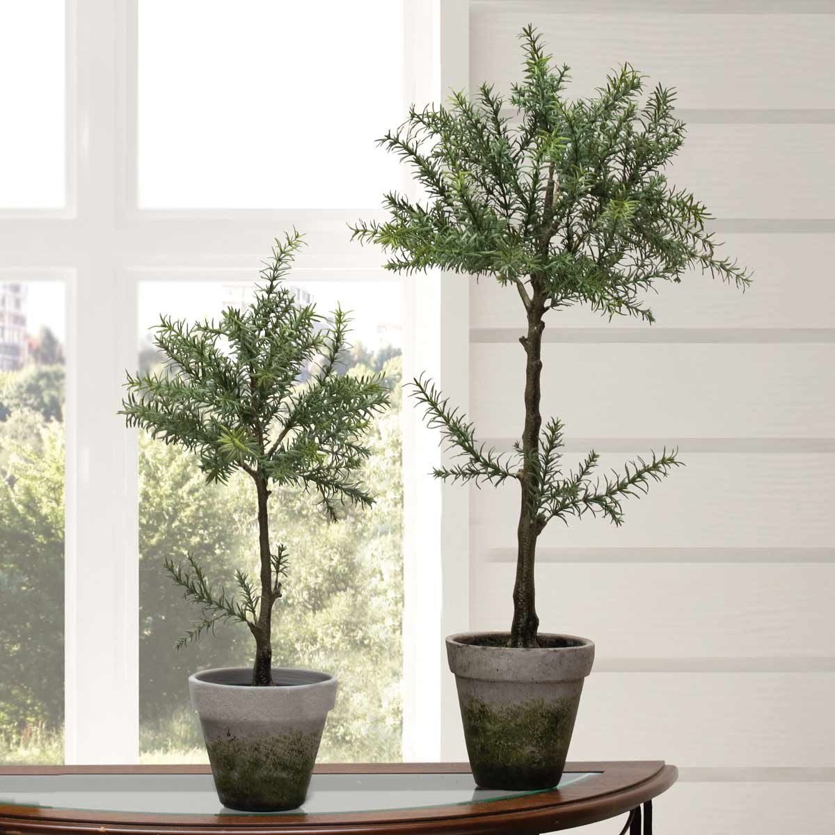 ROSEMARY TREE POWER PACK 3 UNITS