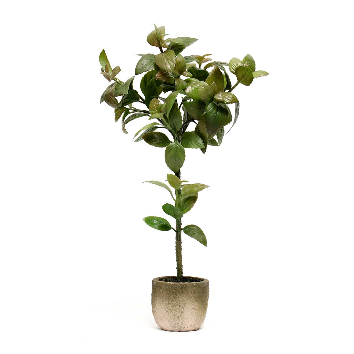 BASIL TREE IN CONCRETE POT